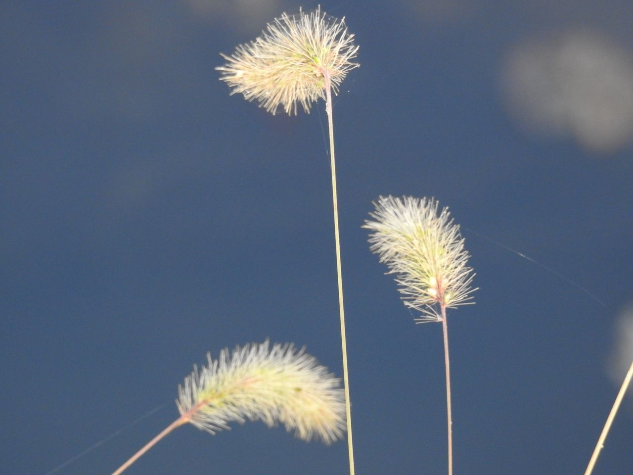 Low Angle View Of Dandelion Against Clear Sky