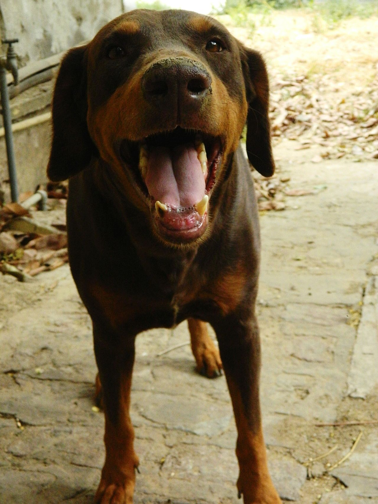 Doberman  My Dod Cute Dangerous Brown