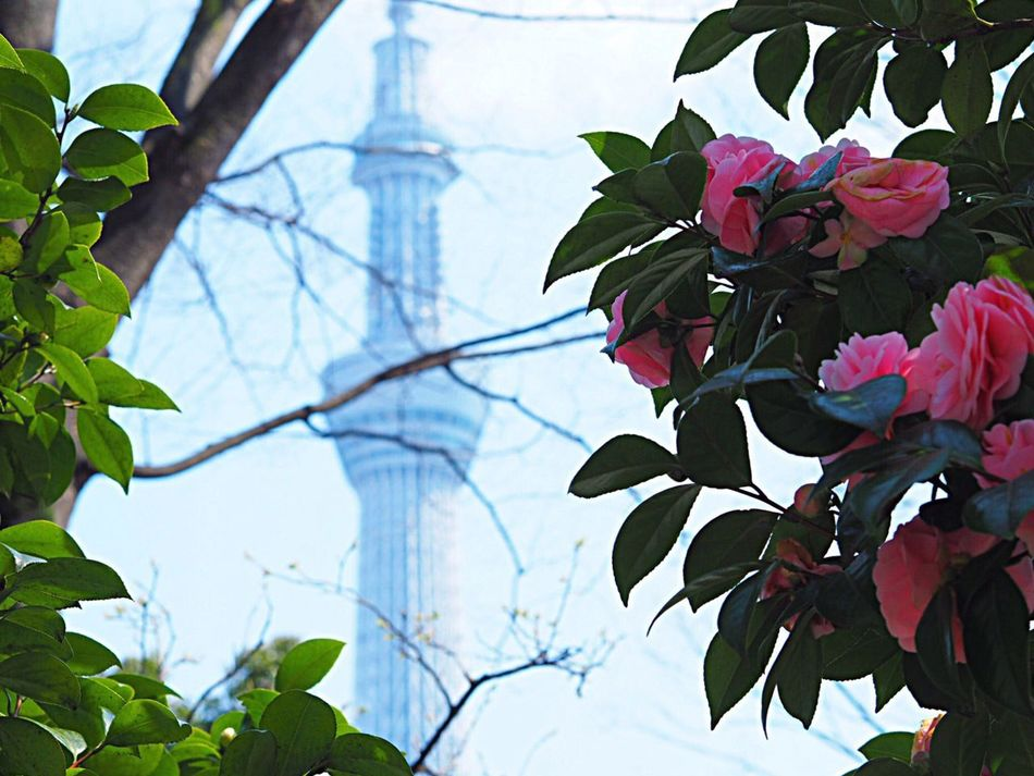 Leaf Growth Plant Nature Beauty In Nature Tree Sky Freshness Tokyoskytree Skytree Japanese Landscape Japanese Photography Japanese Architecture Asakusa Asakusa,tokyo,japan Tokyo,Japan Flower Flowers Olympus Om-d E-m10 Green Color Pink Color Pink Flower