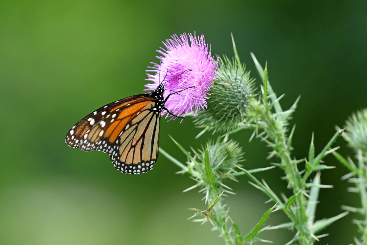 nature, beauty in nature, flower, fragility, one animal, insect, focus on foreground, no people, freshness, close-up, animal themes, butterfly - insect, plant, animals in the wild, animal wildlife, day, growth, outdoors, flower head