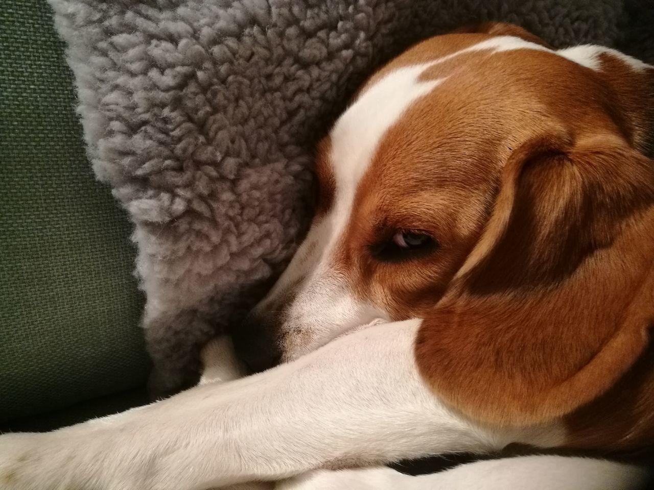Beagle Beagles  Beagleoftheday Beagle Love