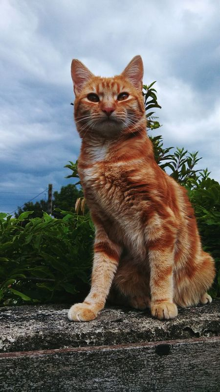 Catsofinstagram Cats Ginger Orange Pussycat Advertisement