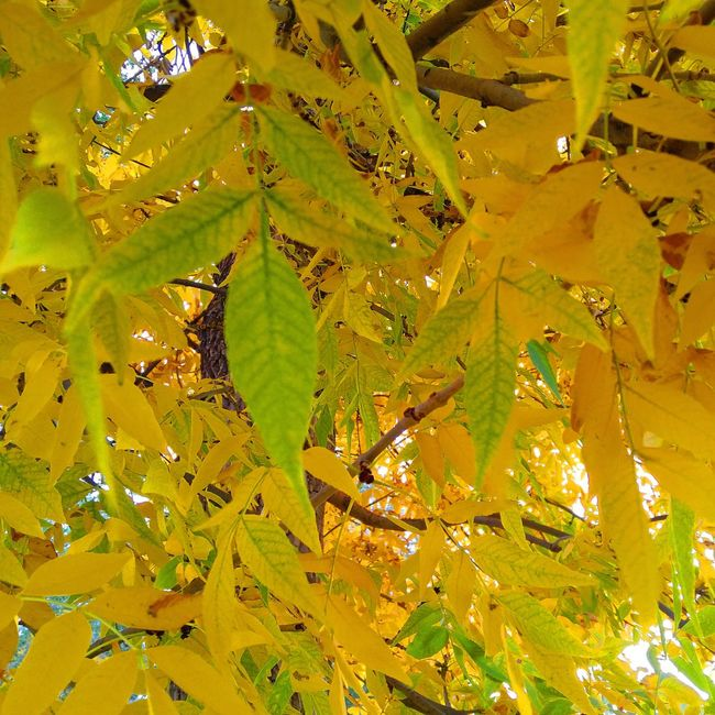 Leaf Close-up Growth Green Color Full Frame Beauty In Nature Plant Branch Nature Day Leaves Tranquility Scenics Sunbeam Outdoors Focus On Foreground Non-urban Scene Tranquil Scene Fragility Check This Out Montanamoment BigSkyCountry Autumn Tree Beauty In Nature