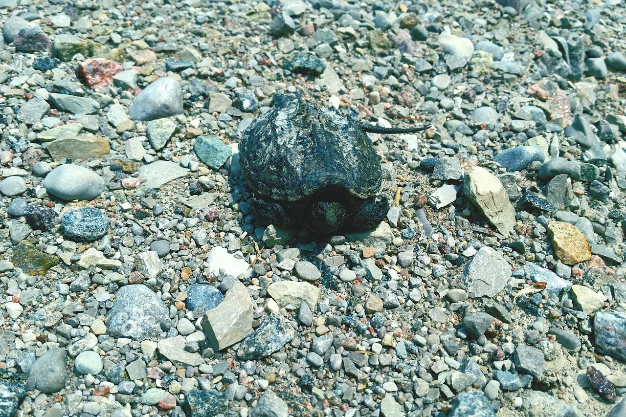 beach, pebble, stone - object, day, sand, no people, one animal, animal themes, outdoors, nature, animals in the wild, close-up, water, pebble beach