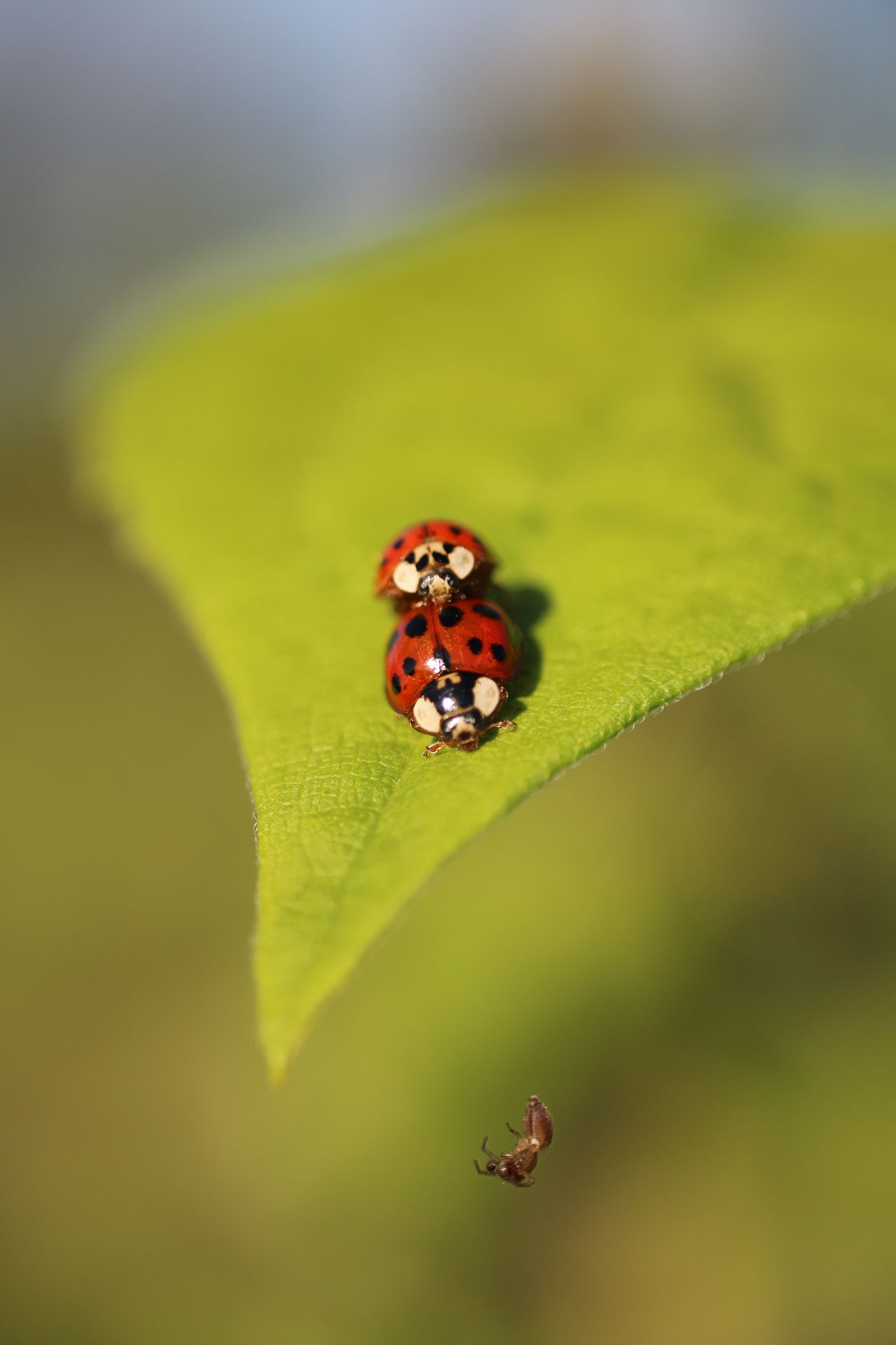 ladybugs copulating Animal Themes Animal Wildlife Animals In The Wild Beauty In Nature Capture The Moment Close-up Copulating Day EyeEm Best Shots EyeEm Nature Lover Insect Ladybug Leaf Macro Nature No People One Animal Outdoors Red Tiny