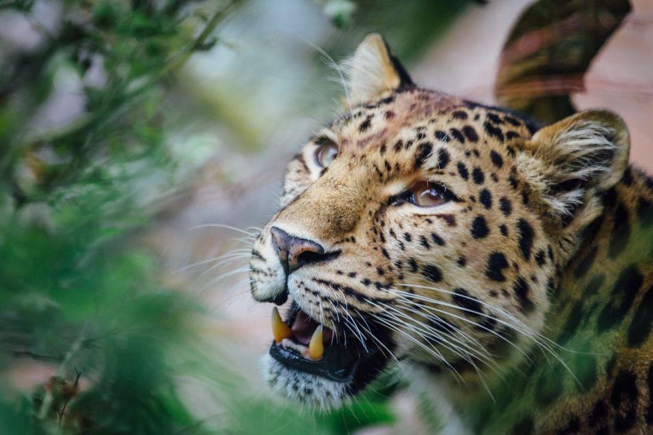 Leopard Zoo Animals  Big Cat Nature