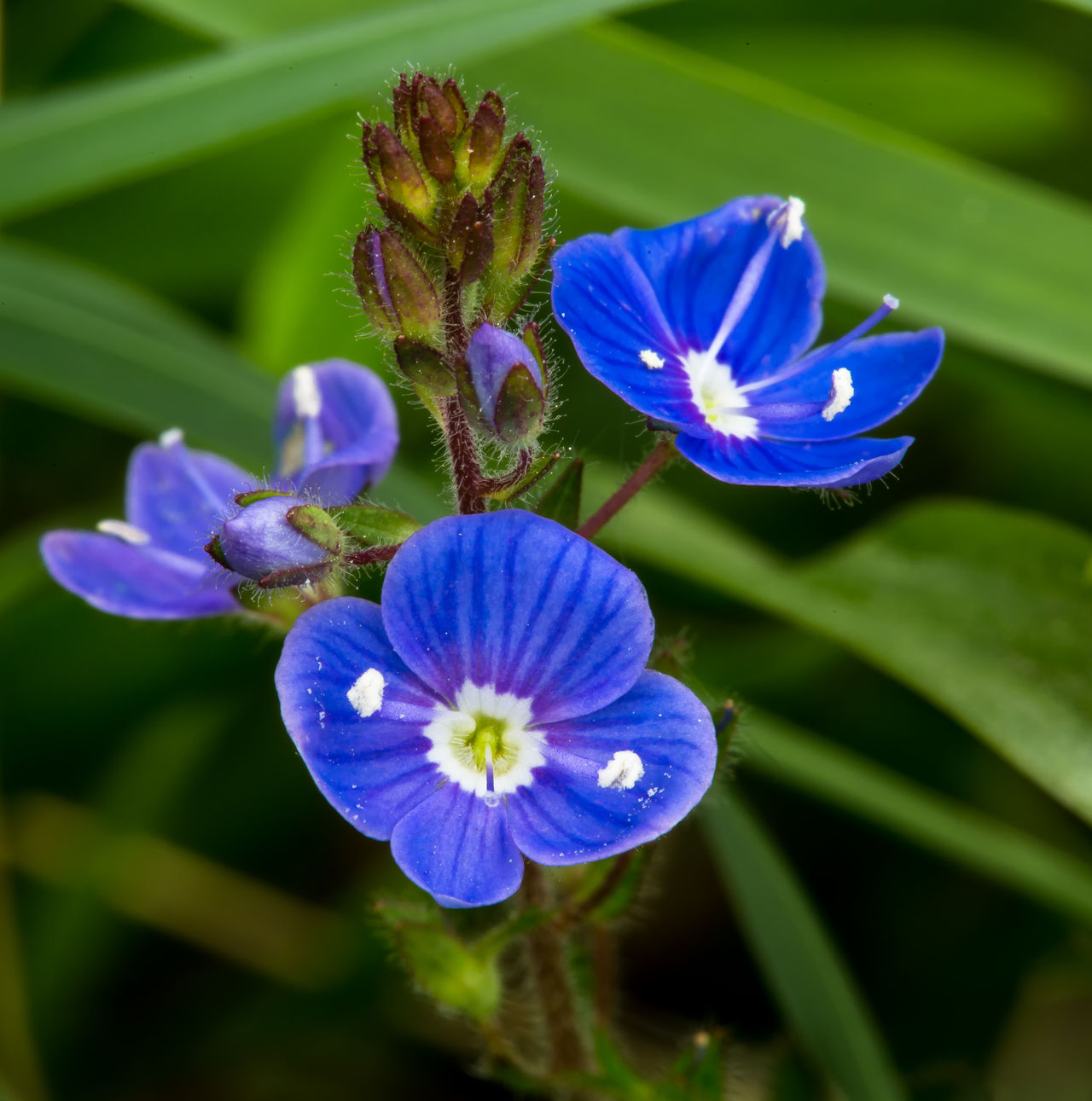 Wild Blue Flowers. Beauty In Nature Blooming Blue Close-up Day Flower Flower Head Fragility Freshness Growth Nature No People Outdoors Petal Plant Purple Spring Flowers Wild