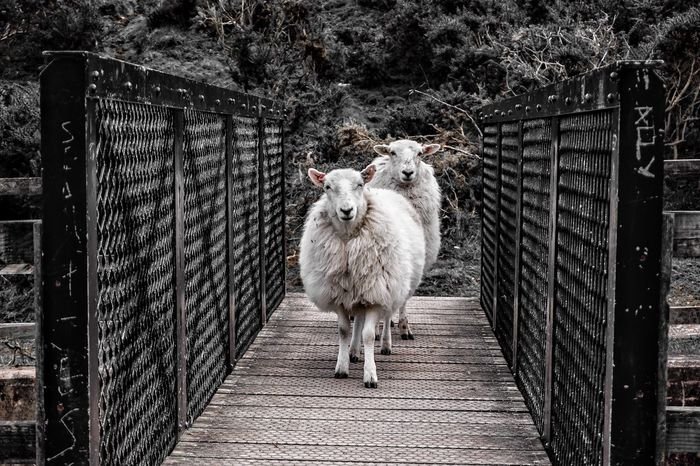 re-edit and upload due to earlier upload being downsized 😁 Sheep Bridge EyeEm Gallery Eye4photography  EyeEm Nature Lover Country Life Nature Photography Animal Photography Farm Animals Farm Life Popular Photos Nature On Your Doorstep EyeEm Best Shots Eye4photography  EyeEm Best Edits Black And White Cool Edit Black And White Collection  Black & White Filter