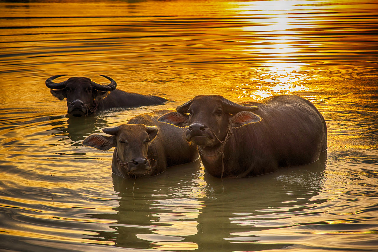 Animal Animal Photography Animal Themes Animal Wildlife Animals In The Wild Buffalo Country Country Life Countryside Domestic Domestic Animals Domestic Life Mammal Nature Nature River River View Swimming Water