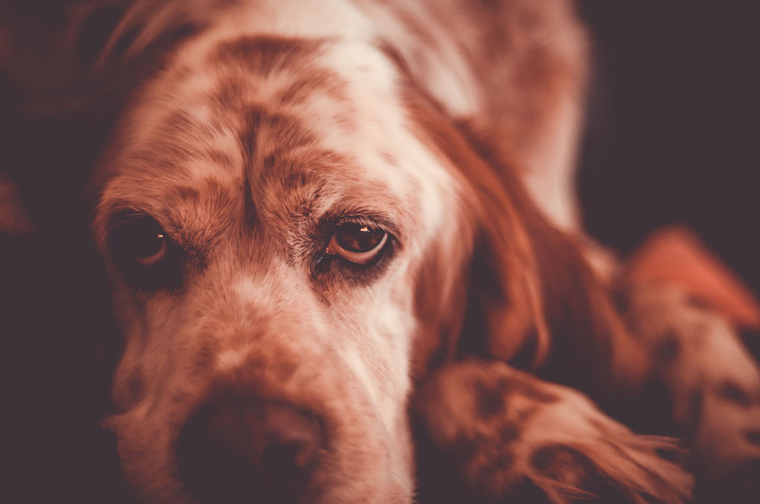 Dogs Of EyeEm Setter Vintage Style Animal Themes Close-up Dog Domestic Animals Eyes Are Soul Reflection Hunting Dog Looking At Camera One Animal Pets Portrait Setter Irlandes Setterlove Sweet Eyes