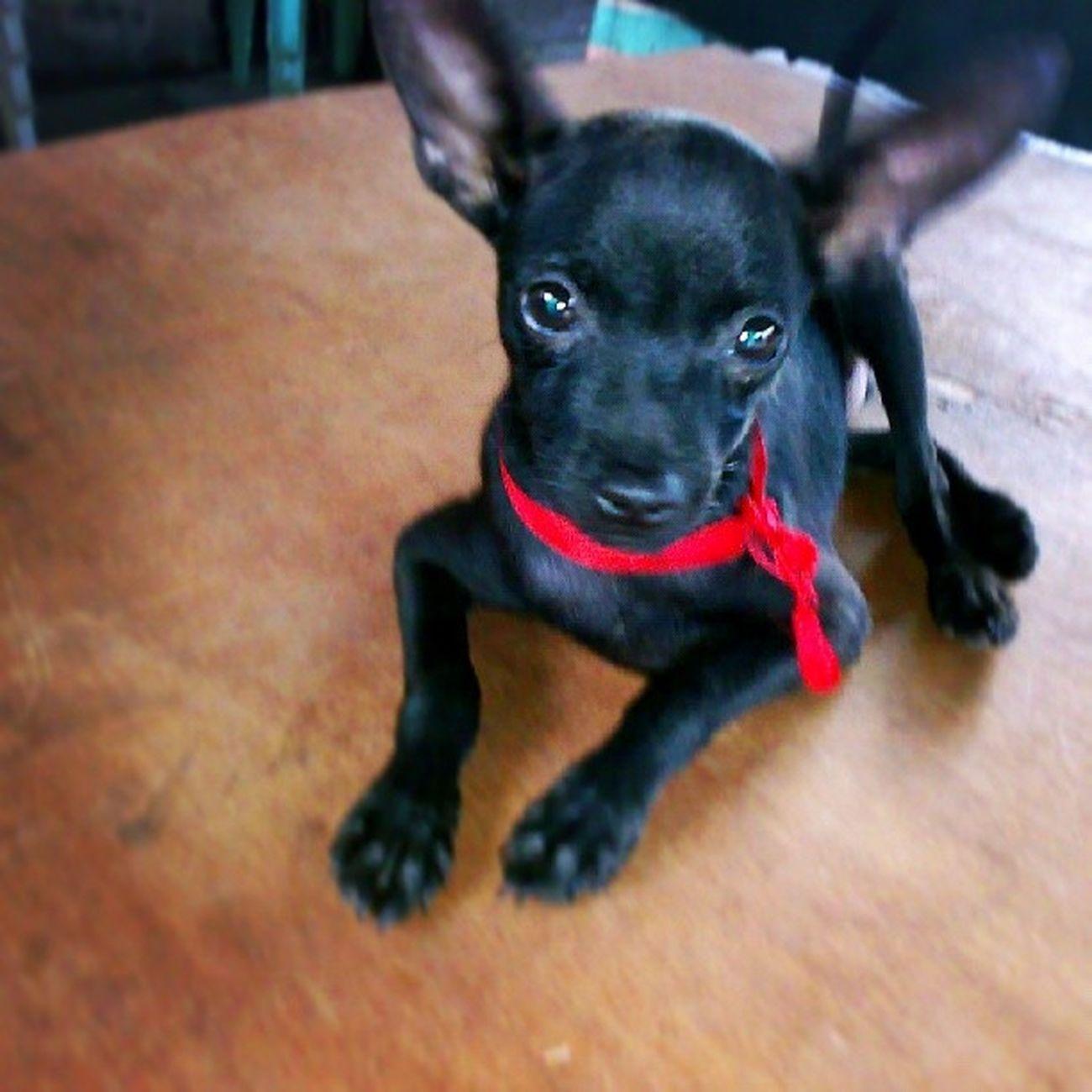 This is my Minipincher Puppy Tiny ....
