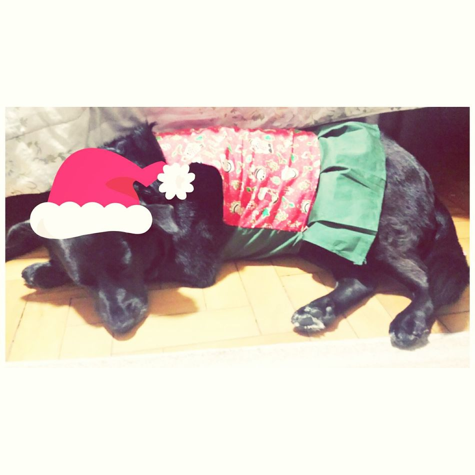 Fashion Dog Xcrhistmas fiz um vestudinho de natal para puppy, nao dá p ver muito bem os detalhes porque ela não gosta de colocar roupas e fica emburrada. Mas tá ai o look natalino dela :3