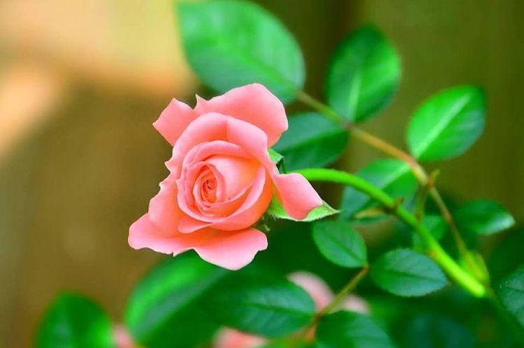 Rose🌹 Nature Flowers Rose Pink Spring Fever First Eyeem Photo Eye Em Best Shots - Flowers Beautiful Pastel Rose - Flower