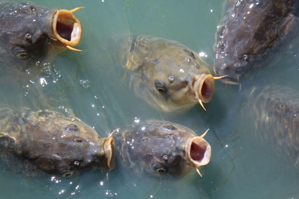 Beautiful stock photos of fish, Animal Head, Animal Themes, Close-Up, Feeding