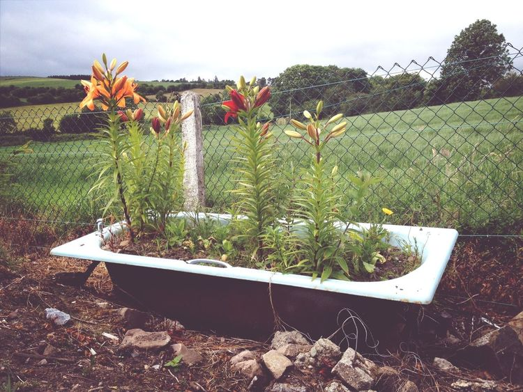 Flowers in a bath tub ........ Only in Ireland! Taking Photos