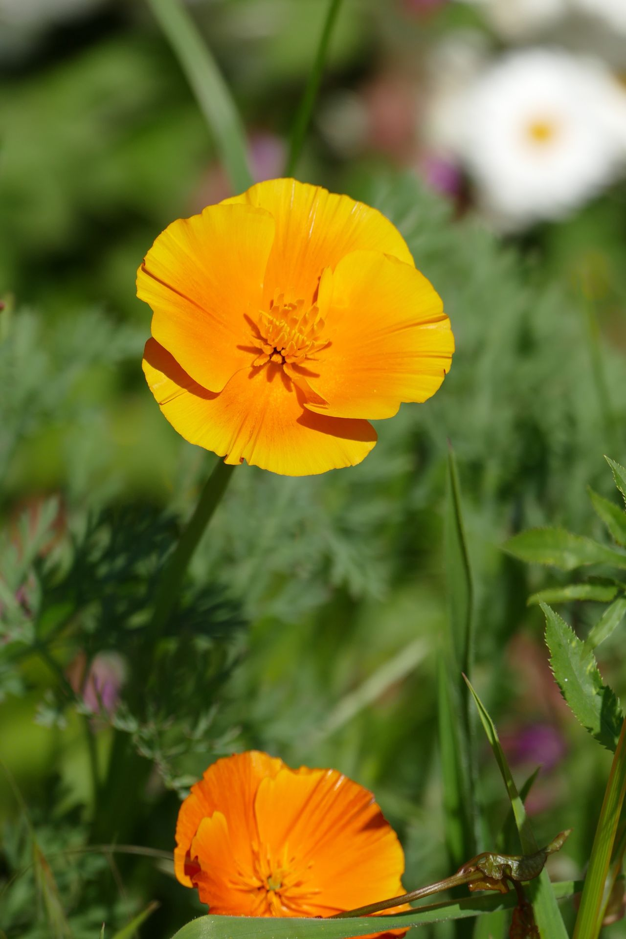 Yellow Flower Petal Nature Beauty In Nature Fragility Growth Flower Head Freshness Blooming Outdoors No People Poppy Poppy Flowers