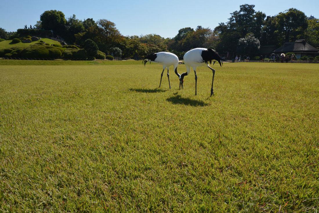 Crane birds Animal Themes Beauty In Nature Crane Birds Grass Landmark Landscape Nature Okayama,Japan