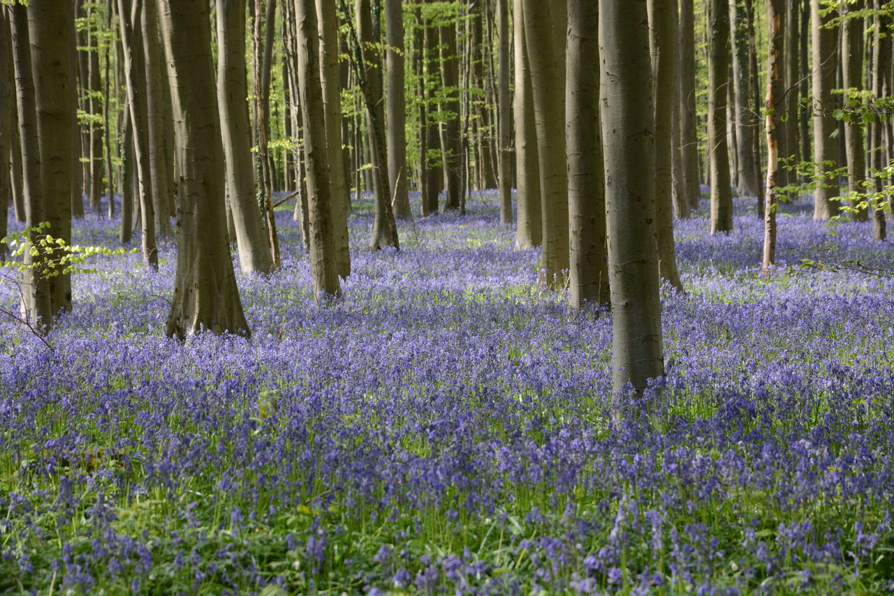Beauty In Nature Flower Forest Grass Hallerbos Nature No People Outdoors Tree