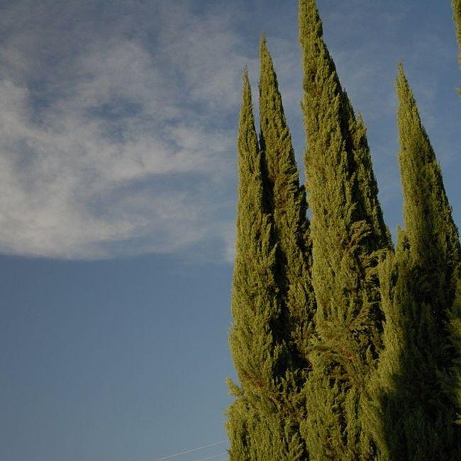 Spruce trees using a Polarized Filter! Polarize Filter Noedit Nikon photography nature spruce spring TreePorn art hot sunny pretty