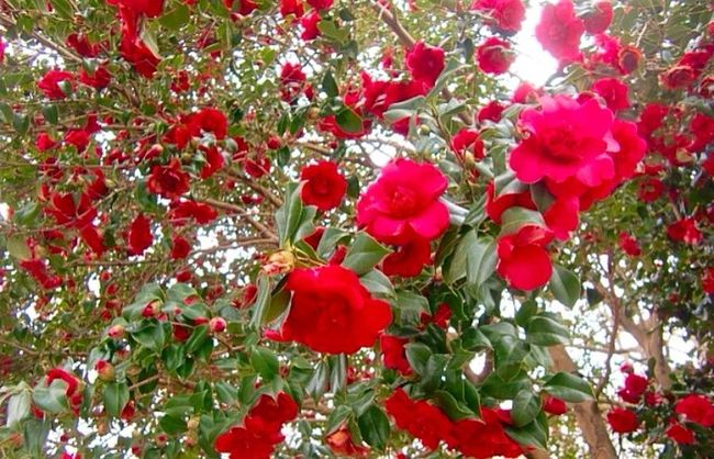 Red Natural Beauty Roses🌹 Flowers For My Friends