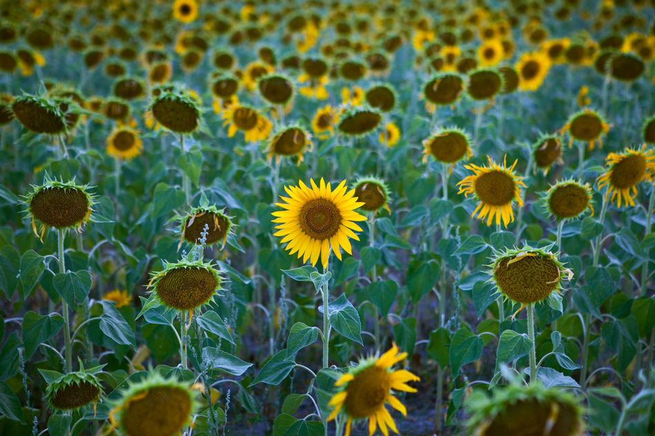 Beautiful stock photos of sunflower, Agriculture, Beauty In Nature, Blooming, Day