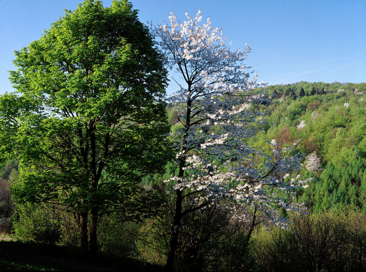 Beskid Beskid Niski Beskidy Bloom Blooming Flowering Mountain Mountains Poland Polen Spring Tree