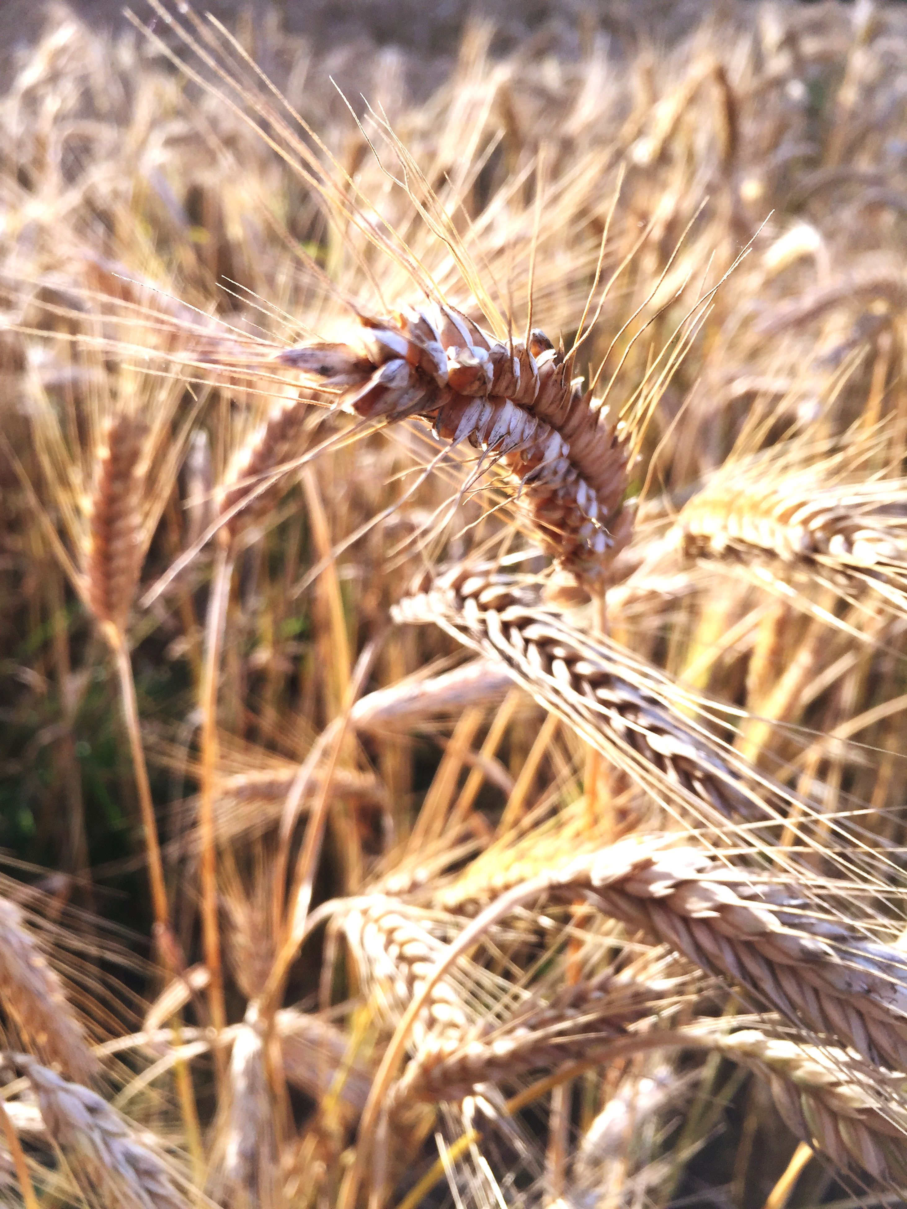 close-up, growth, nature, plant, field, dry, grass, cereal plant, focus on foreground, wheat, crop, selective focus, agriculture, tranquility, beauty in nature, outdoors, farm, day, straw, no people