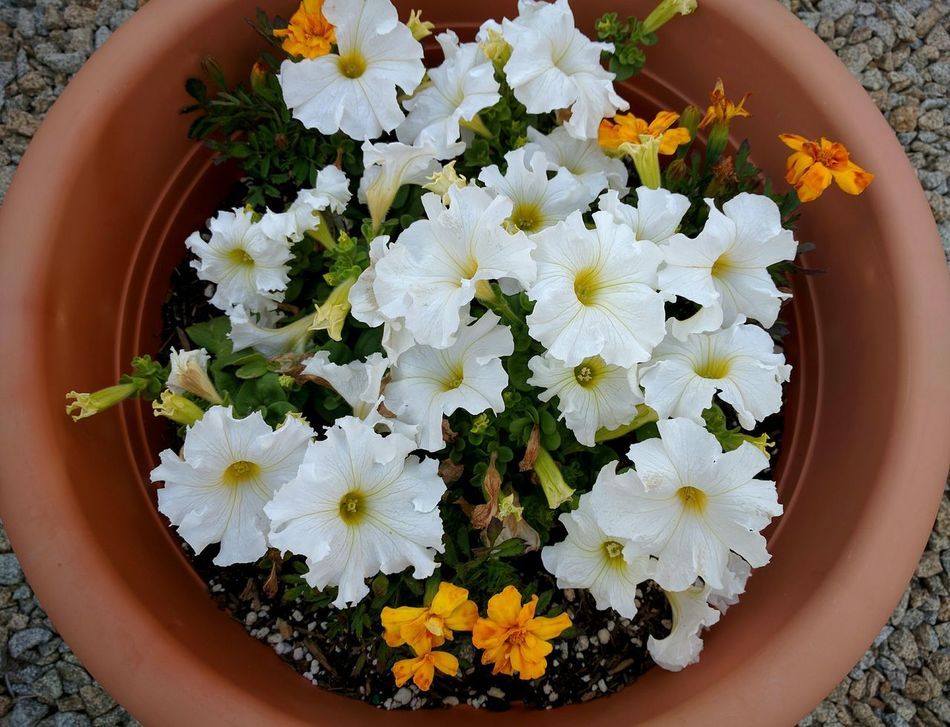 potted white petunias Taking Photos Spring Flowers Potted Flowers Petunias White Flowers Eyeem Flowers Flowerporn EyeEm Gallery Flowers,Plants & Garden Flowers, Nature And Beauty As Is Flower Collection Mobile Photography Plants And Flowers What I See Androidography Flower Photography Let's Do It Chic! Flowers Eye4photography