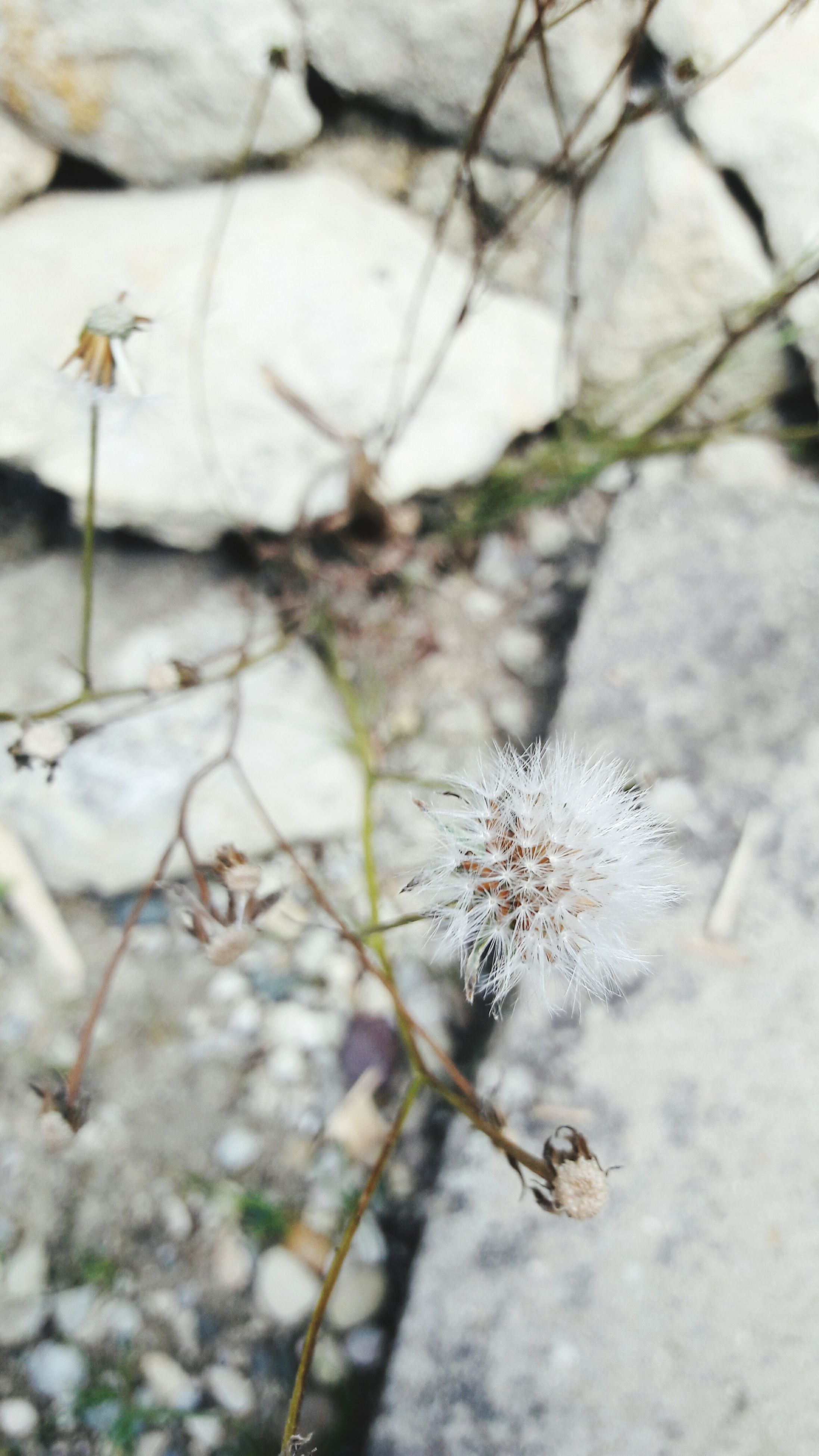 fragility, flower, dandelion, freshness, focus on foreground, close-up, growth, stem, beauty in nature, plant, springtime, nature, flower head, softness, blossom, botany, day, uncultivated, in bloom, single flower, no people, wildflower, dandelion seed