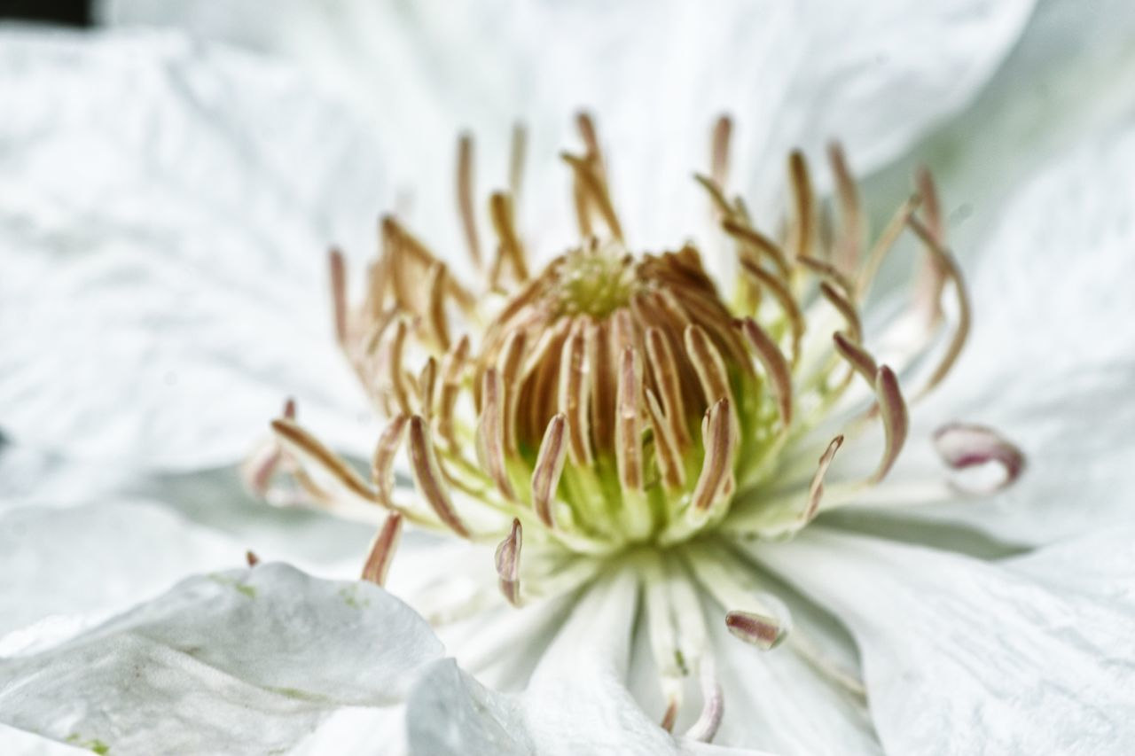 Clematis Clematis Flower Close-up Plant Flower Nature Flower Head No People Day Outdoors Freshness Fragility Nature On Your Doorstep EyeEm Nature Lover Taking Photos Check This Out Eye4photography  From My Point Of View Capture The Moment Botany Growth Nature Freshness White Color Macro