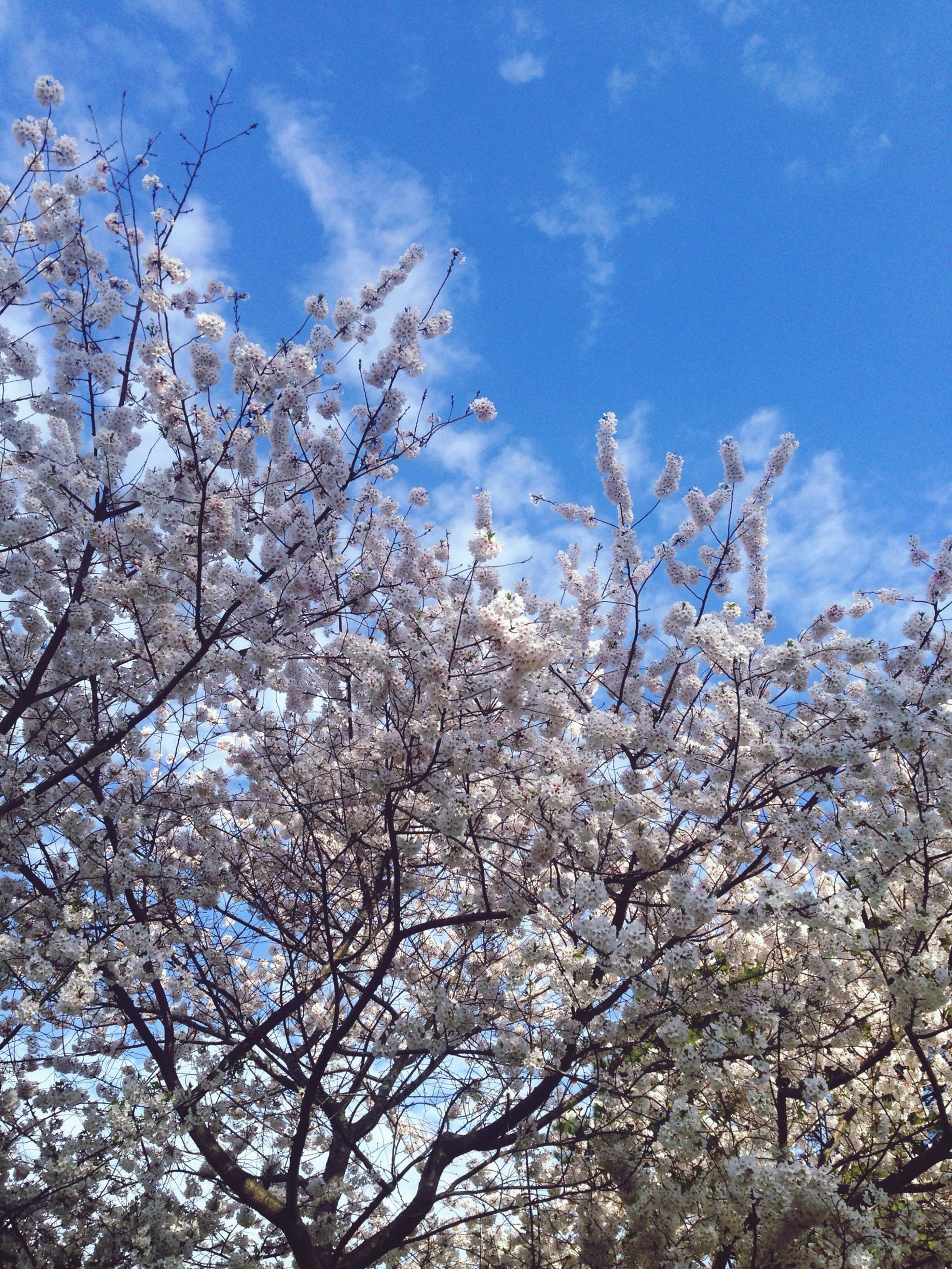 flower, tree, branch, low angle view, cherry blossom, freshness, growth, beauty in nature, blossom, cherry tree, nature, fragility, sky, white color, springtime, in bloom, fruit tree, blooming, blue, day