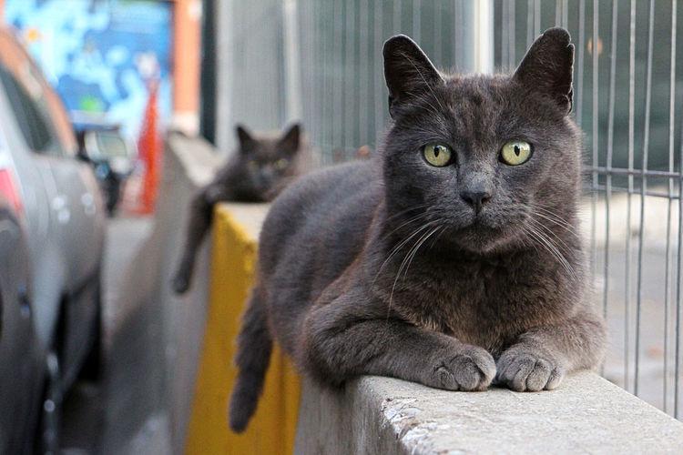 Certosini Cat Cat Lovers Certosino Certosino Francese Gatti Gatti Di Strada Outdoor Portrait