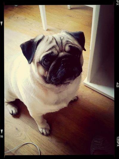 My sweet dog ♥♥♥ I ♥ Pugs