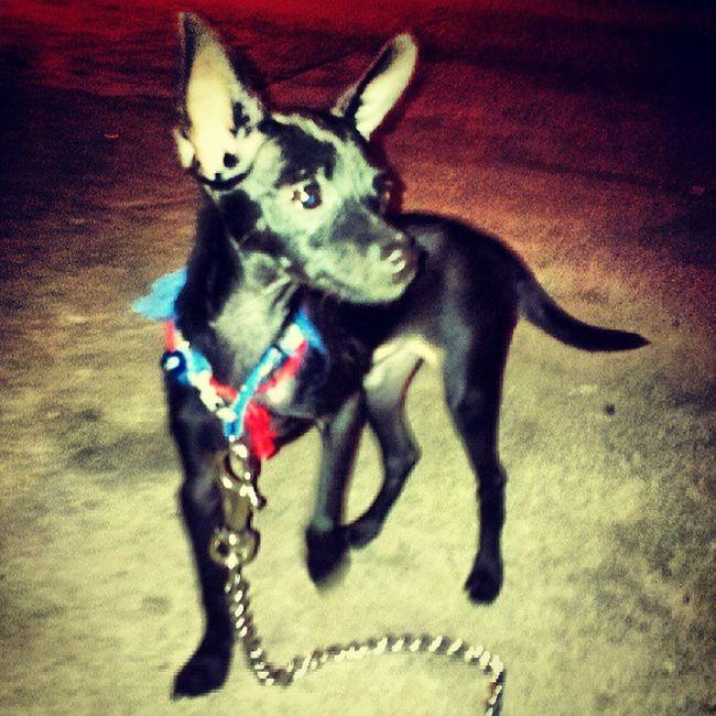 playful Tiny. Pet Minipincher Minipinscher Black dog puppy