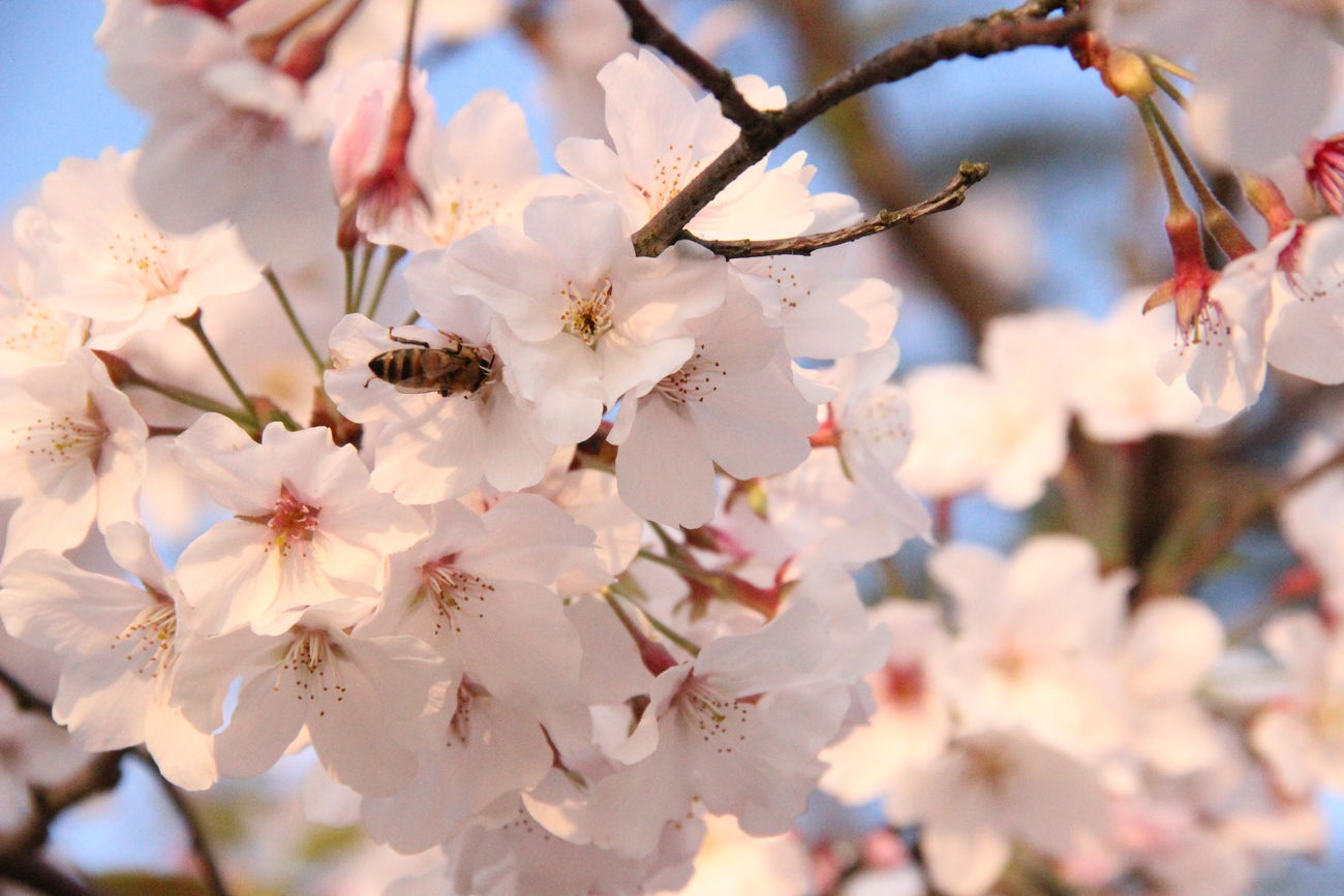 Flowers, Nature And Beauty Bee 🐝 Bee And Flower Nature Is Art Spring Day Sakura Blossom Cherry Blossoms