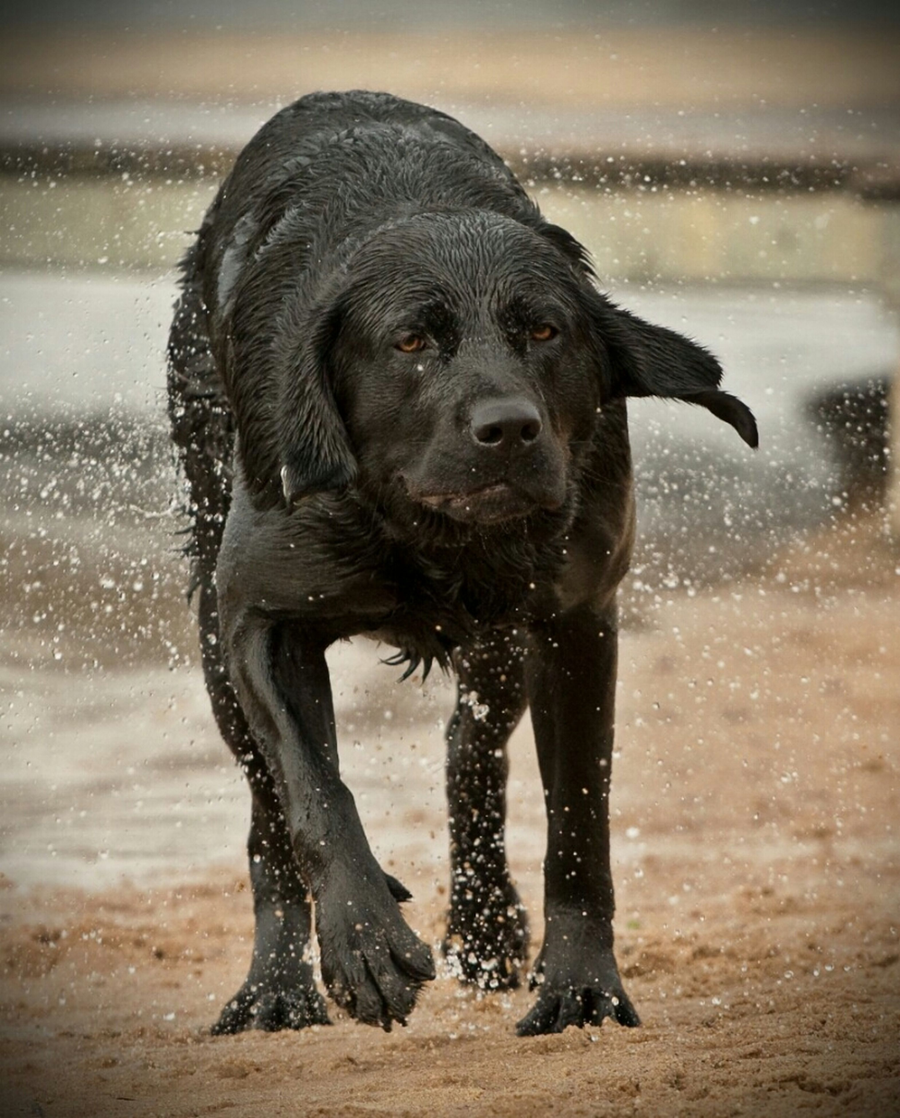 animal themes, one animal, water, mammal, wet, dog, standing, domestic animals, full length, focus on foreground, black color, nature, close-up, animals in the wild, front view, day, looking away, no people, zoology, portrait