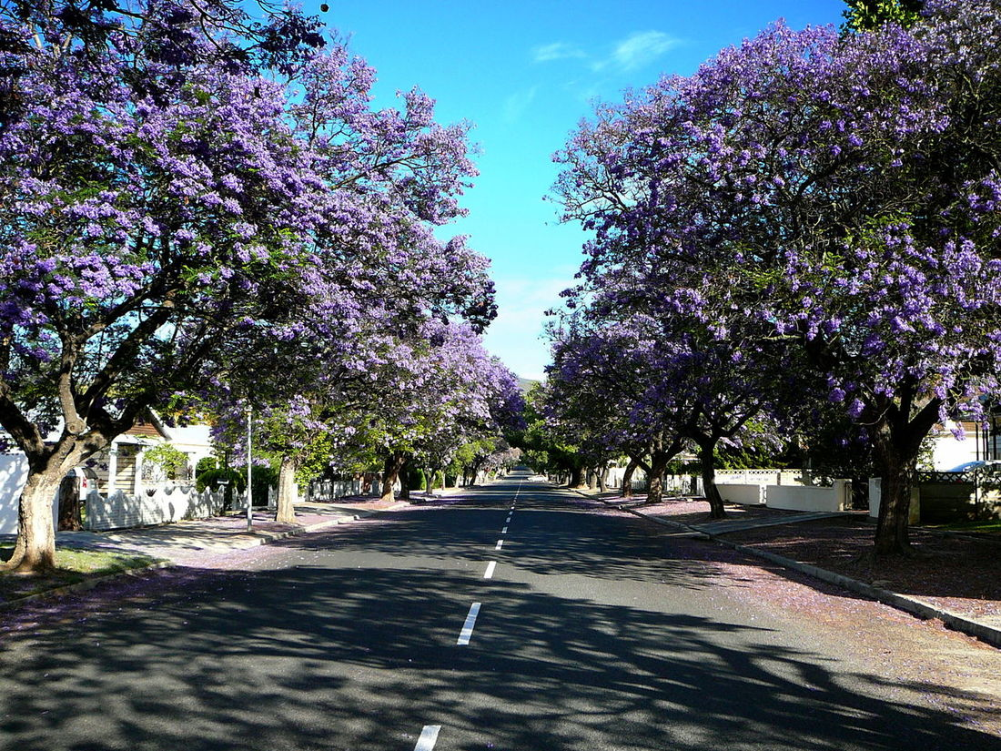 Jacaranda Avenue, Robertson ~ Beauty In Nature Day Empty Streets Fallen Blossoms Freshness Growth Jacaranda Jakaranda Tree Nature No People Outdoors Purple Purple Flower Residential District Road Robertson Sky South Africa Summer Tree Tree Tree Trunk Western Cape Breathing Space Family❤