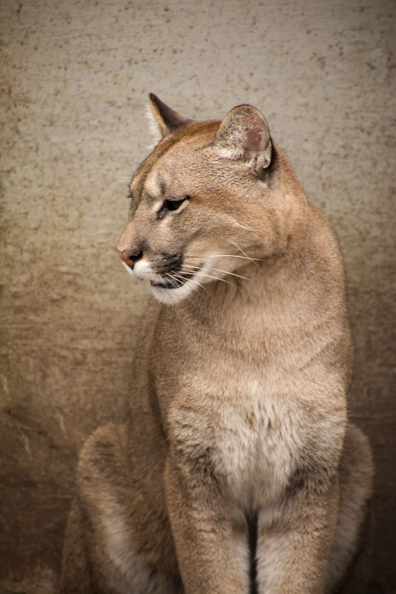 Beautiful stock photos of puma,  Animal Themes,  Close-Up,  Day,  Feline