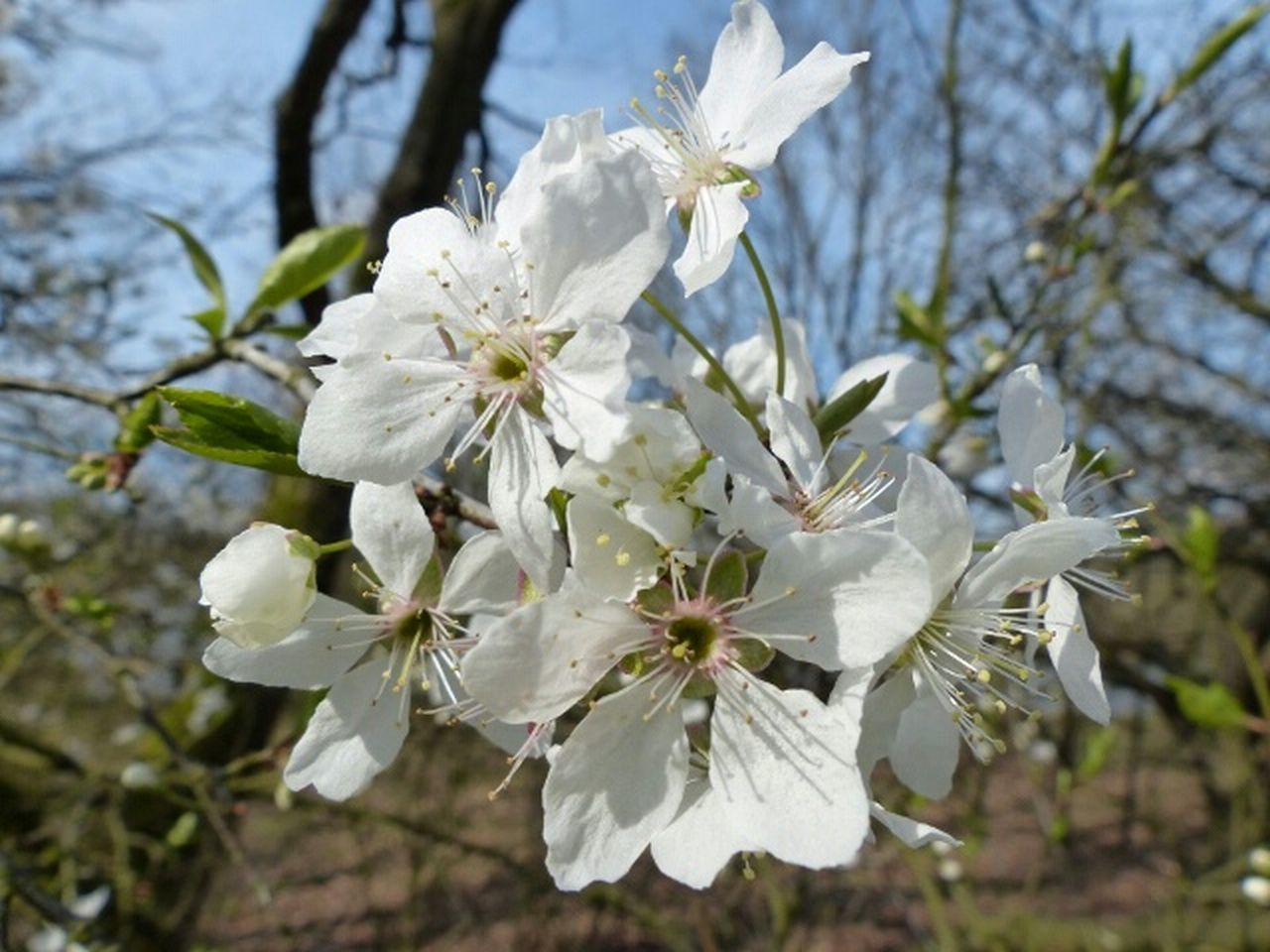 flower, fragility, blossom, white color, tree, apple blossom, growth, apple tree, springtime, beauty in nature, orchard, nature, freshness, petal, branch, botany, twig, stamen, day, no people, flower head, focus on foreground, low angle view, close-up, outdoors, blooming, plum blossom, sky