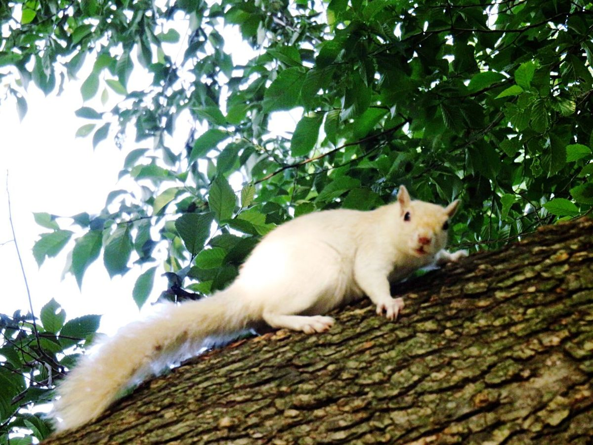 Adorably rare, white squirrel in Boston Public Gardens climbing up a tree. (He has leucism, not albinism). Adorable Beauty In Nature Nature Photography Nature_collection EyeEm Animal Lover EyeEm Best Shots - Nature EyeEm Nature Lover Cute Animals The Photojournalist - 2016 EyeEm Awards The Great Outdoors - 2016 EyeEm Awards Unique Beauty Massachusetts Boston Boston Public Garden  Tree Squirrel White Squirrel Leucism EyeEm Best Shots Climbing Trees Climbing