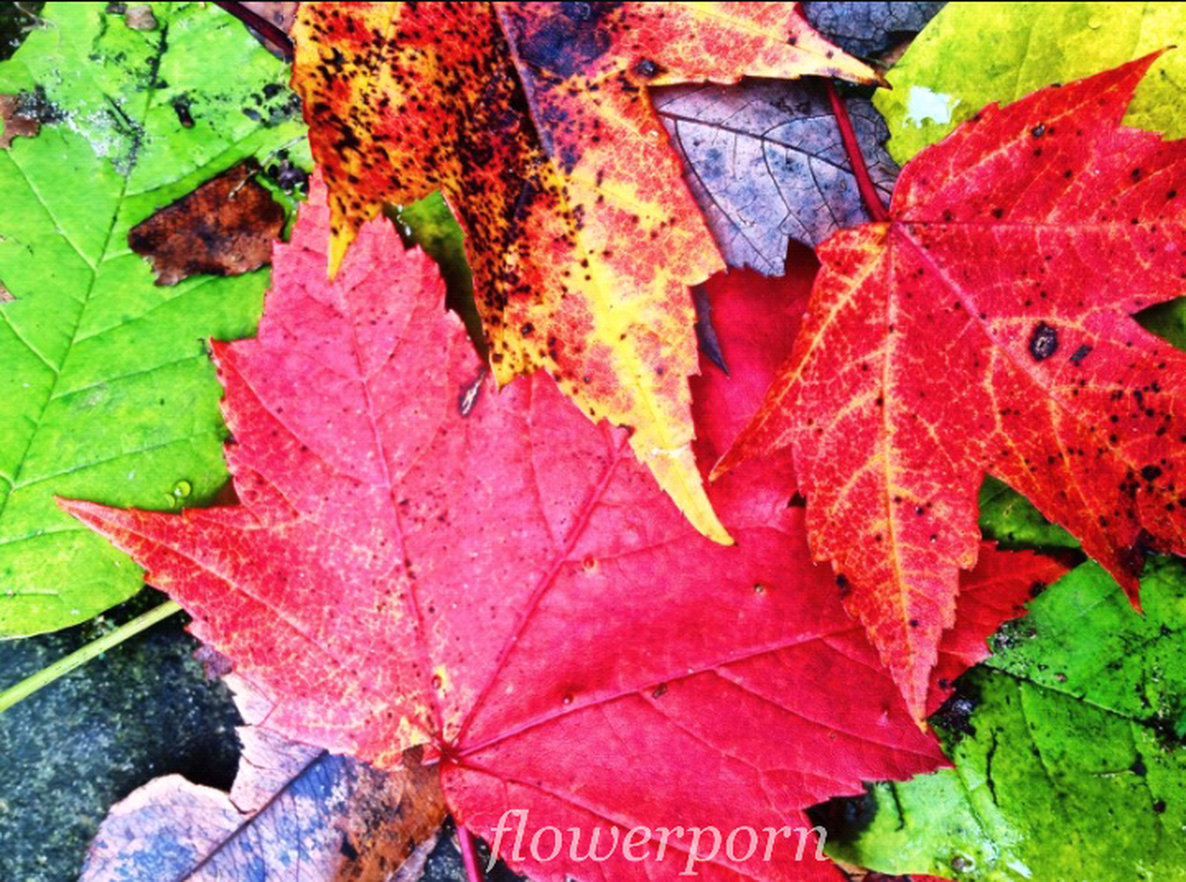 leaf, autumn, change, season, leaf vein, leaves, maple leaf, close-up, natural pattern, full frame, backgrounds, dry, nature, natural condition, red, high angle view, beauty in nature, orange color, day, fallen