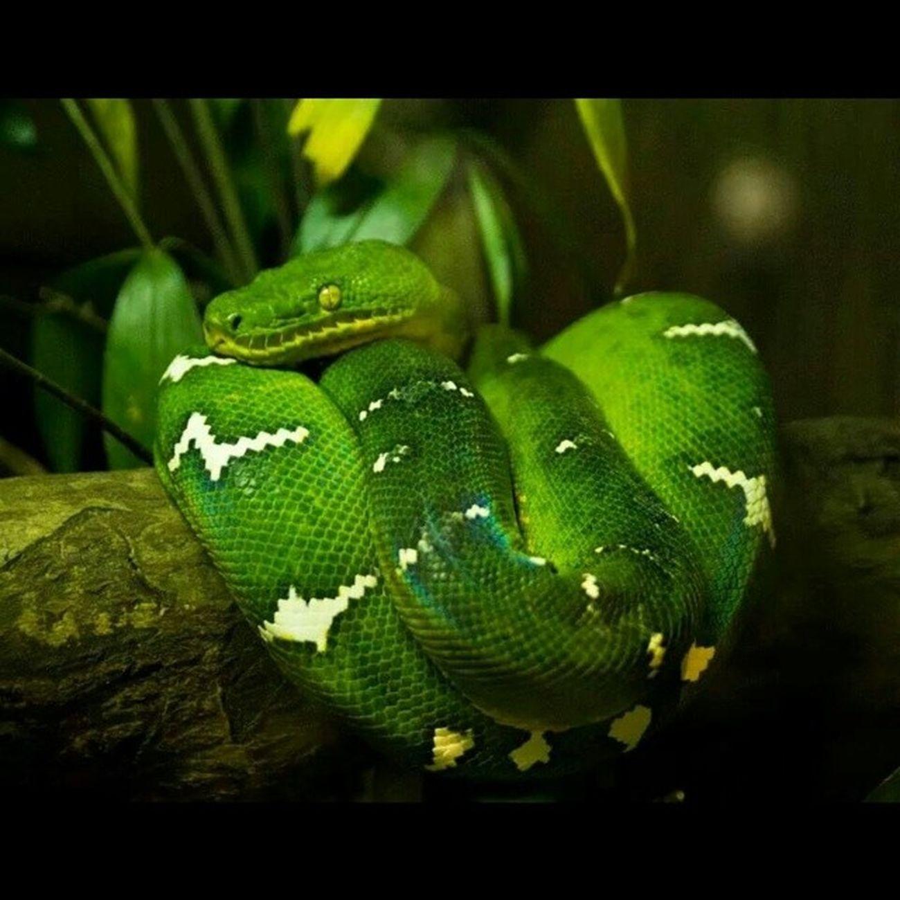 Amazing color snake @singaporezoo SingaporeZoo Singapore Holiday Igphotooftheday travel traveling TagsForLikes TFLers vacation visiting instatravel instago instagood trip holiday photooftheday fun travelling tourism tourist instapassport instatraveling mytravelgram travelgram travelingram igtravel