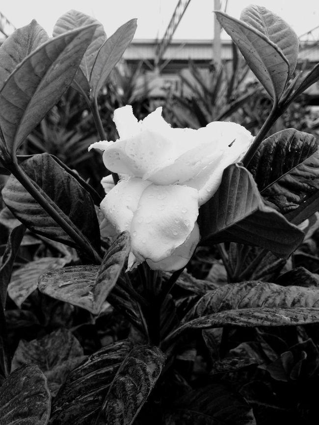 BW Gardenia #Canada