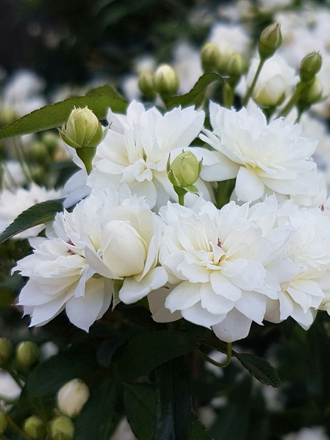 Flower Freshness Fragility Growth Close-up Petal Beauty In Nature Springtime Blossom White Color Flower Head In Bloom Nature Botany Day Branch Focus On Foreground Softness Bloom Full Frame Beauty In Creation  The Hand Of The Creator Admiring God's Beauty!