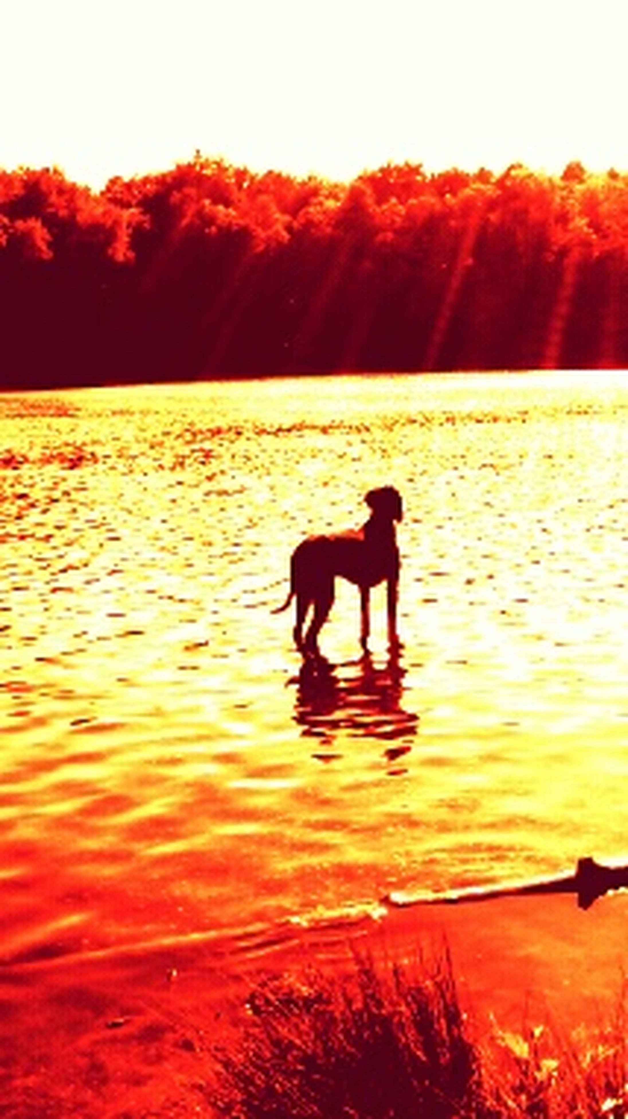 water, sunset, animal themes, dog, one animal, domestic animals, pets, reflection, mammal, silhouette, sun, rippled, waterfront, sunlight, orange color, lake, nature, tranquil scene, scenics, beauty in nature