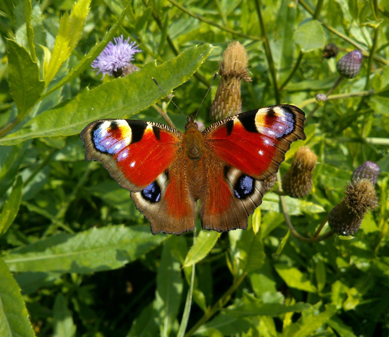 There's no any photo editing. Papillon Paon Butterfly Emperor Moth бабочка павлиний глаз