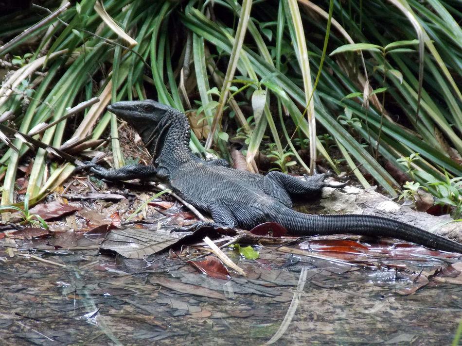 Animal Animal Themes Lizard Nature Outdoors Wildlife Varan Travel Malaysia Penang EyeEm Nature Lover EyeEm Animal Lover