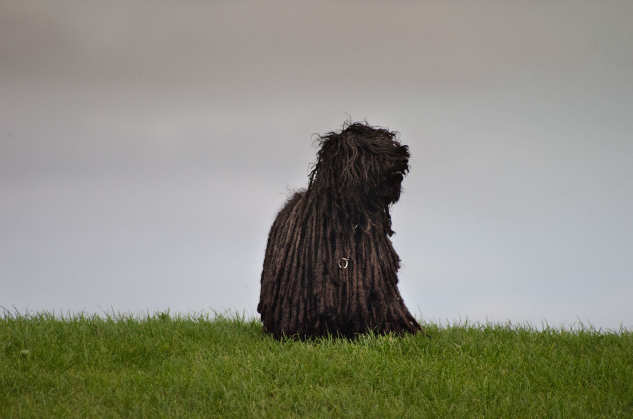 My Hungarian Puli sitting on the top of a hill Beauty In Nature Countryside Dog Dreadlock Dog Field Grass Grassland Grassy Green Color Growth Horizon Over Land Hungarian Puli Nature No People Non-urban Scene Outdoors Rural Scene Scenics Sky Solitude Tranquility Weathered