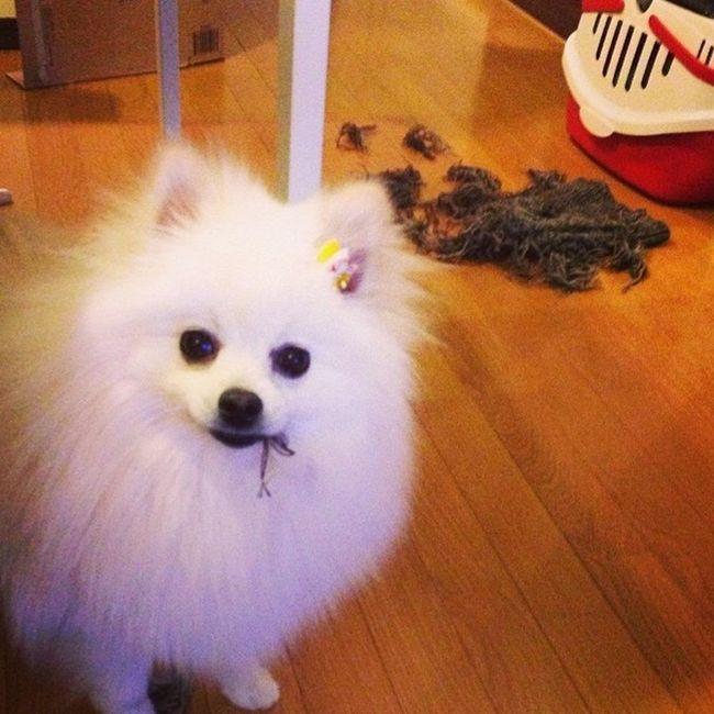 Korosuke I Love My Dog Pomeranian OH NO!