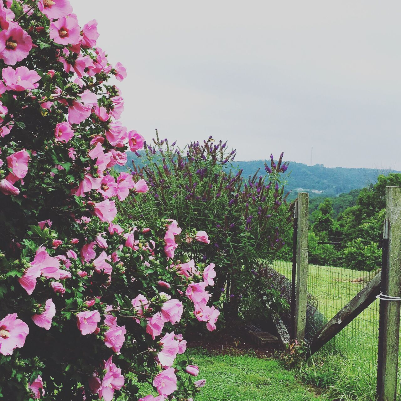 Rose Of Sharon Buddleia Butterfly Bush Pink Purple Bush Beauty In Nature Outdoors Fence Flowers